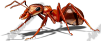 Red Ant 1