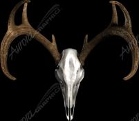 Buck Skull Bone