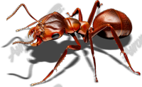Red Ant 3