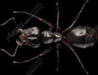 Black Ant 2