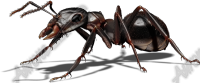 Black Ant 1