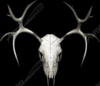 Buck Skull